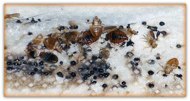 severe bed bug infestation
