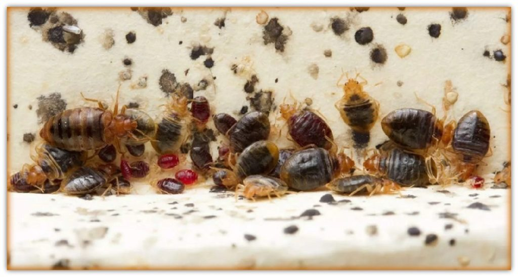 pics of bed bugs adults