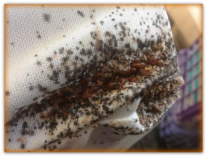 Bed Bug Infestation Pictures