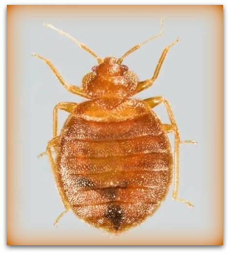 female bed bugs pictures