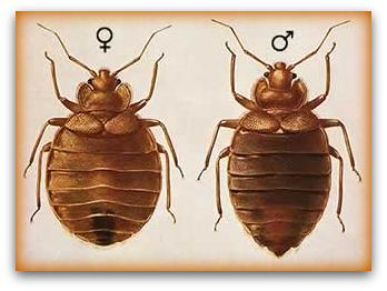 pic of male and female bed bugs
