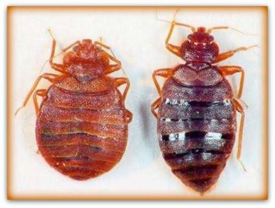pictures of male and female bed bugs