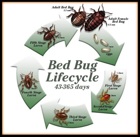 bed bug life cycle image