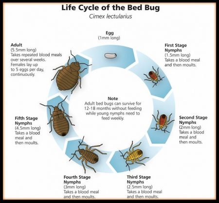 Bed Bug Life Cycle Pictures