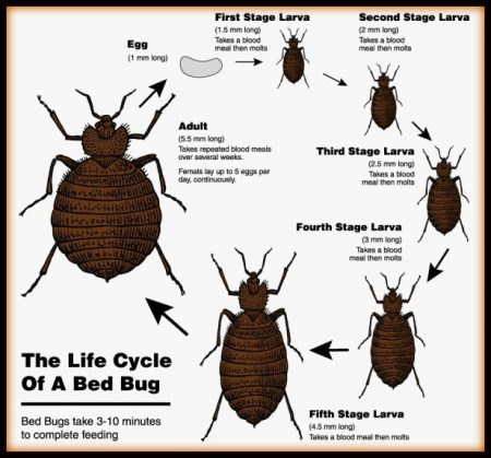bed bug life stages pictures